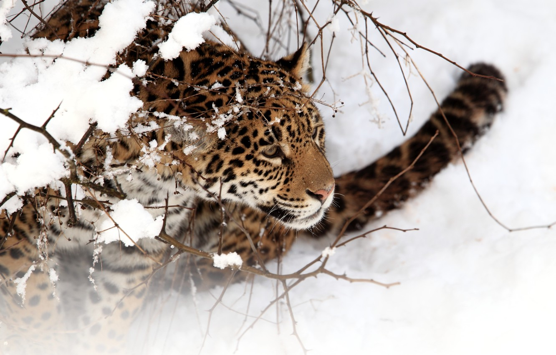 Photo wallpaper winter, cat, snow, Jaguar