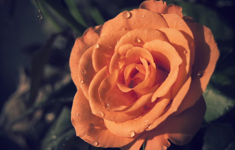 Photo wallpaper rose, orange, petals