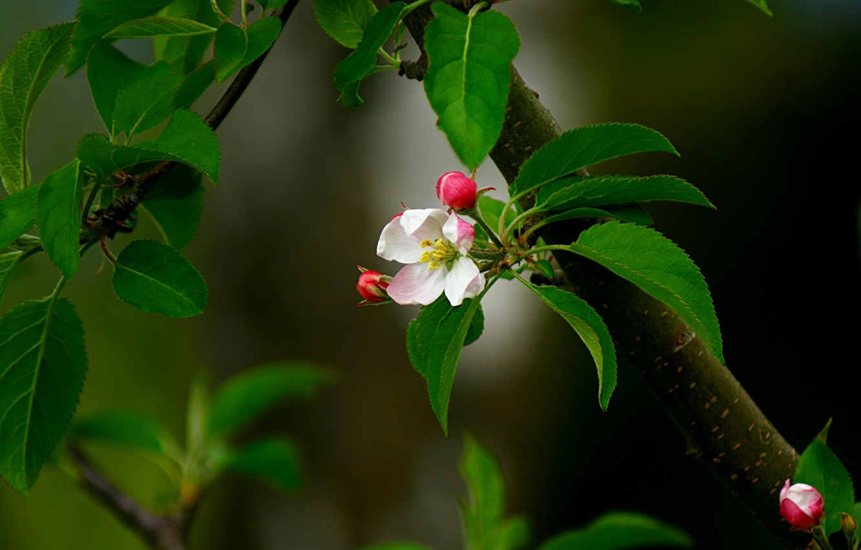 Photo wallpaper flower, leaves, pink, branch, spring, Bud, Apple