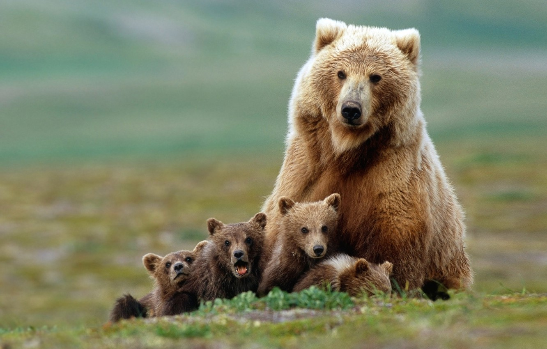 Photo wallpaper family, bears, bears, grizzly, bear