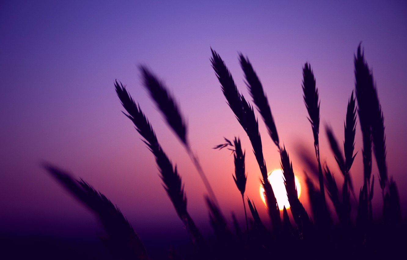 Photo wallpaper field, the sky, the sun, macro, sunset, The evening, blur, spikelets, ears, lilac