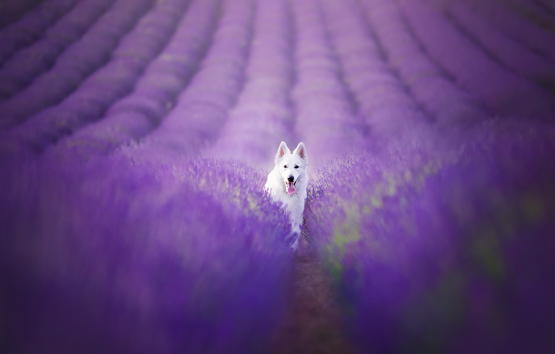 Photo wallpaper field, look, each, dog, lavender