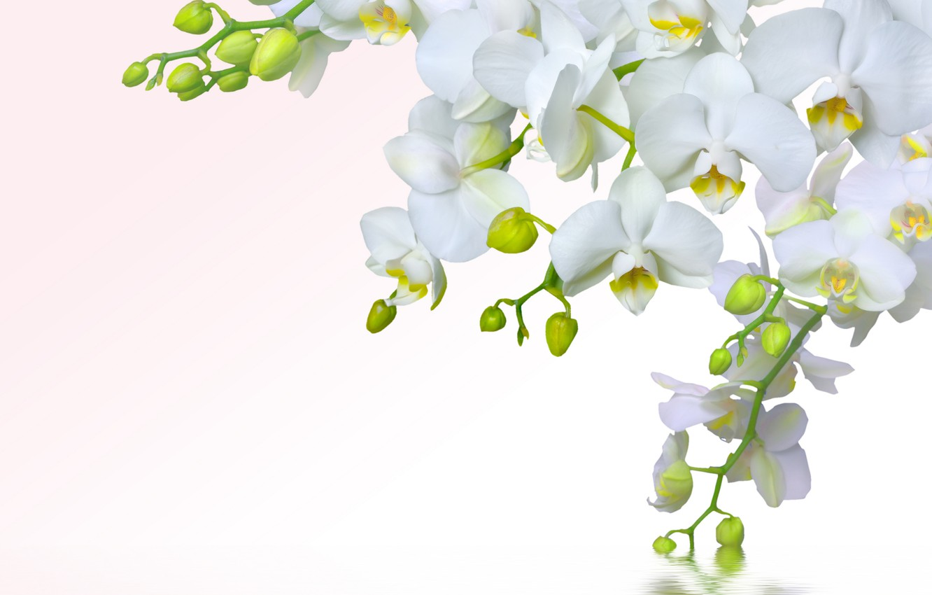 Photo wallpaper water, flowers, tenderness, beauty, splash, petals, white, white, orchids, Orchid, water, flowers, beauty, splash, Phalaenopsis, ...