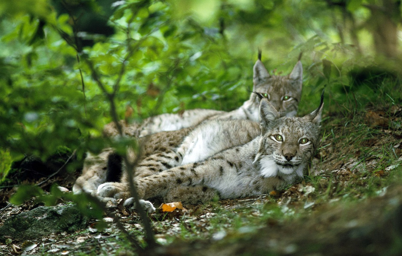 Photo wallpaper forest, look, pair, lynx