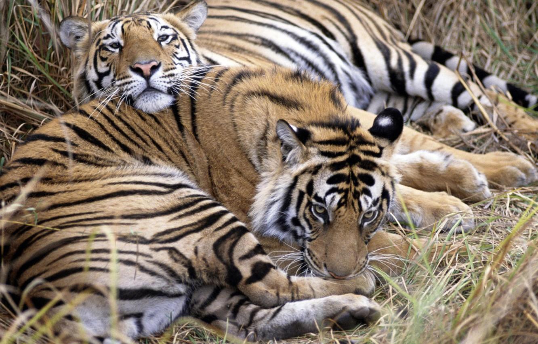 Photo wallpaper animals, stay, predators, tigers
