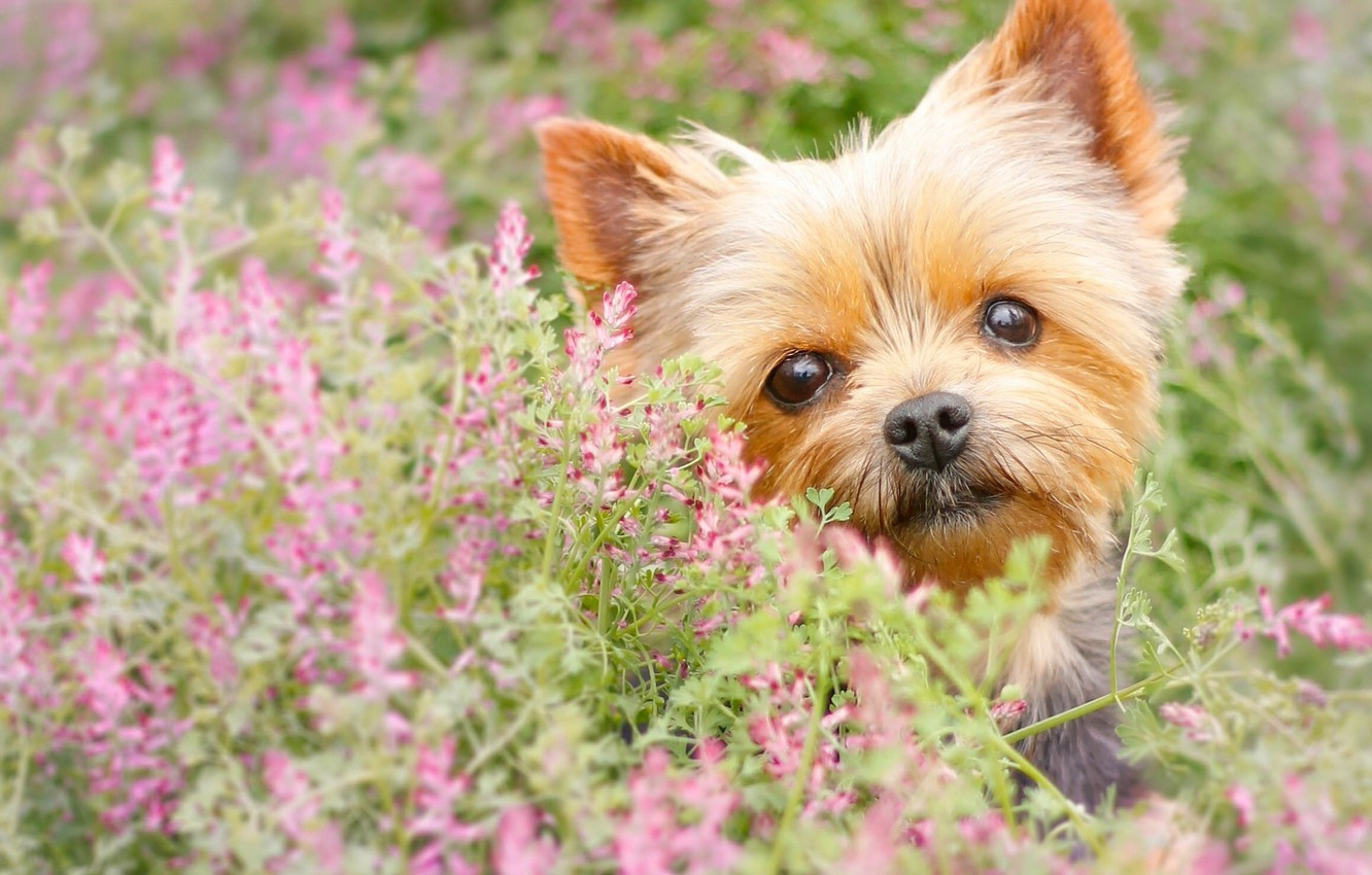 Photo wallpaper look, flowers, dog, face, York, Yorkshire Terrier