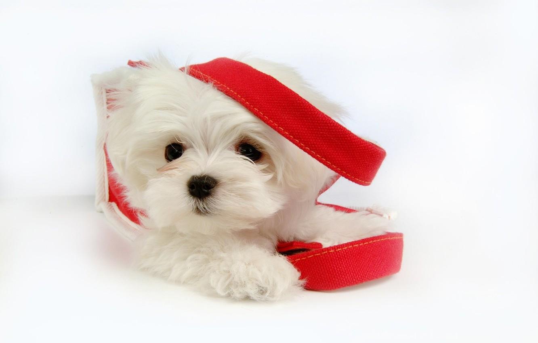 Photo wallpaper dog, dog, pet, pet, Maltese, maltese