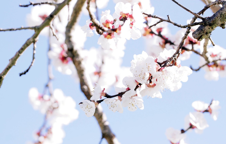 Photo wallpaper flowers, tree, spring, spring