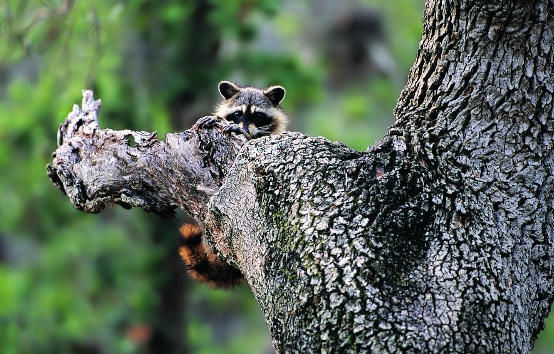 Photo wallpaper nature, tree, raccoon, greens., Animals