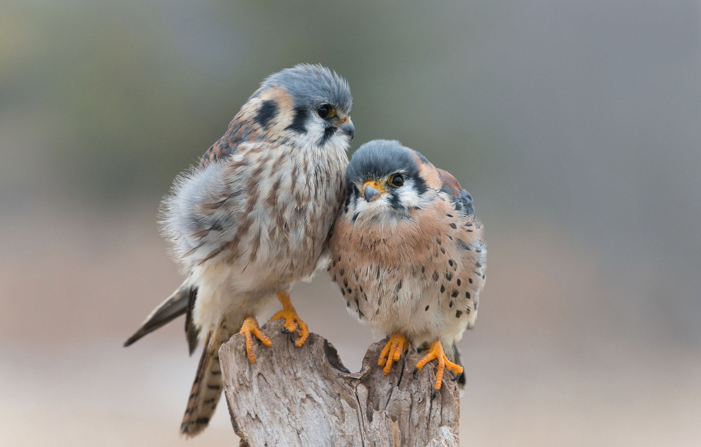 Photo wallpaper love, birds, tenderness