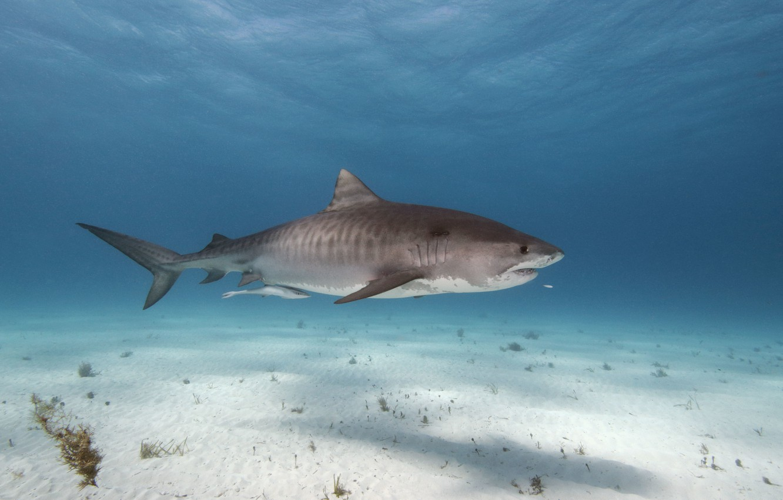 Photo wallpaper surface, shadow, shark, the bottom of the sea