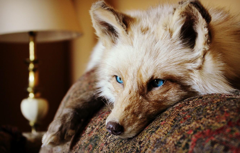 Photo wallpaper eyes, look, animal, Fox, lies, ears. wool