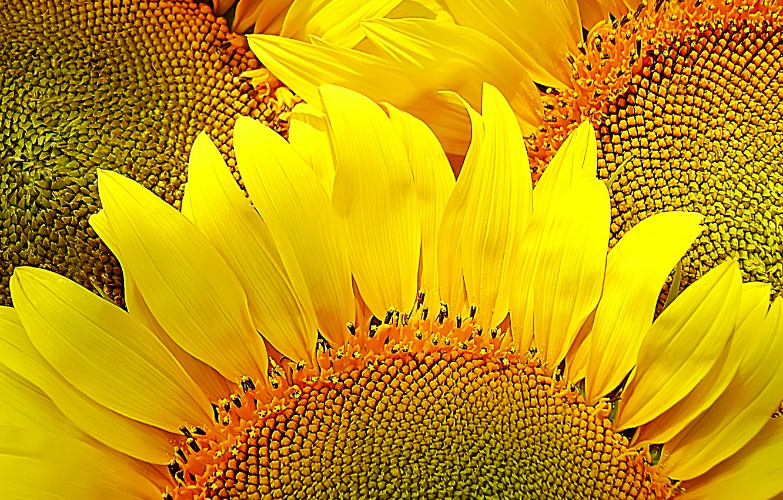 Photo wallpaper sunflowers, flowers, yellow, nature, mood, petals