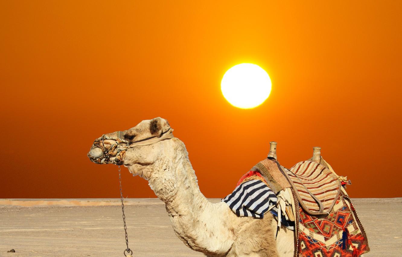 Photo wallpaper sand, summer, the sun, desert, camel, hot, heat