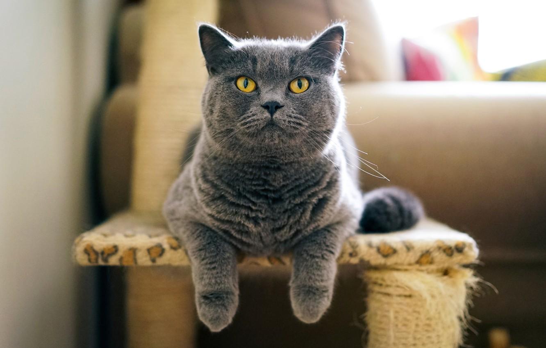 Photo wallpaper cat, grey, British