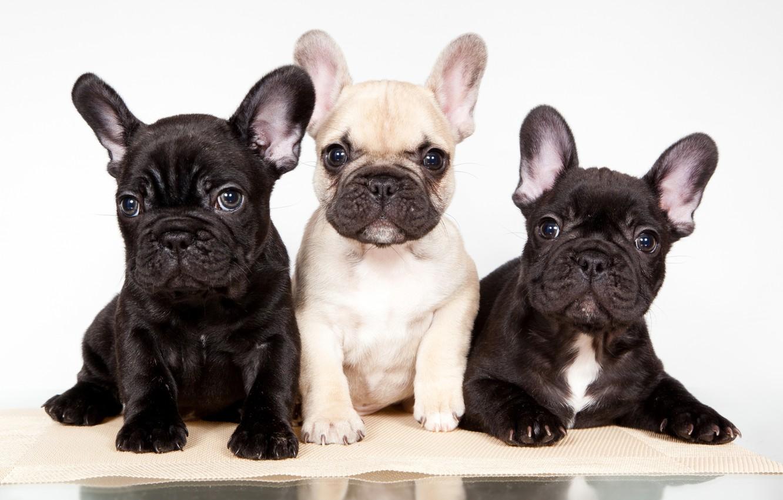 Photo wallpaper puppies, trio, French bulldog