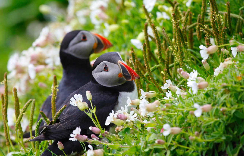 Photo wallpaper grass, look, flowers, birds, Rosa, spikelets, pair, puffin, stubs