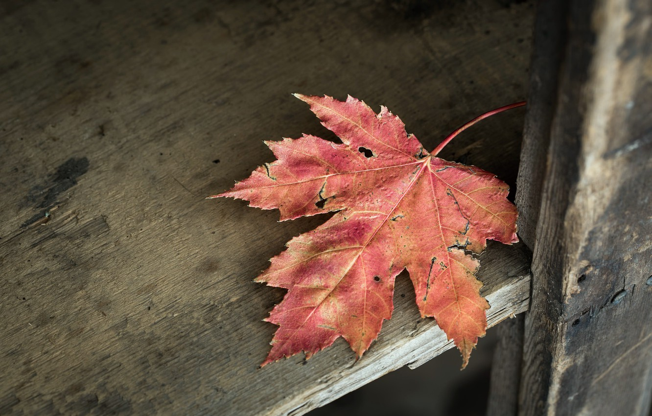 Photo wallpaper nature, background, maple leaf