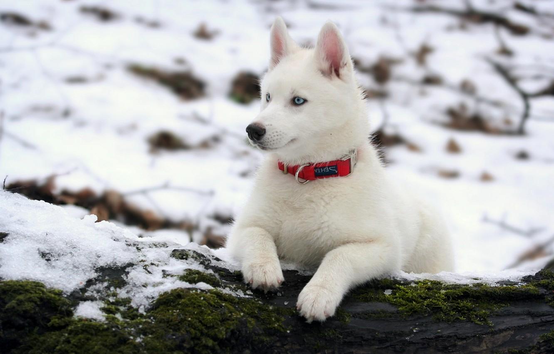 Photo wallpaper winter, dog, husky