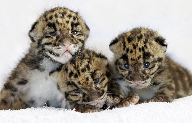 Photo wallpaper cat, leopard, leopard, cubs