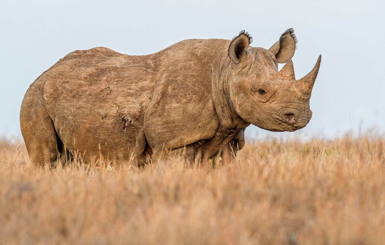 Wallpaper nature, background, Rhino images for desktop