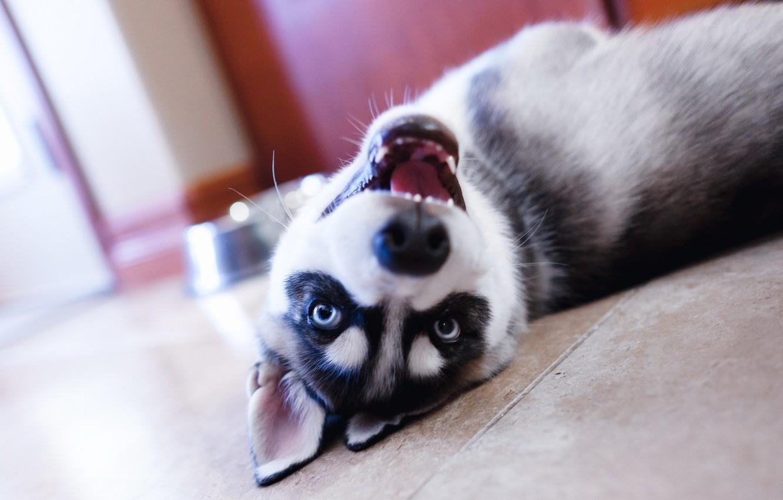 Photo wallpaper eyes, look, face, dog, puppy, lies, husky
