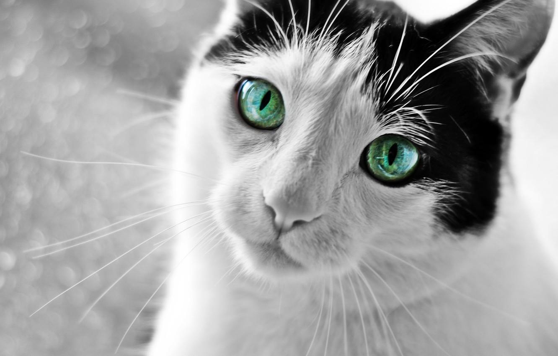 Photo wallpaper eyes, cat, look, Koshak