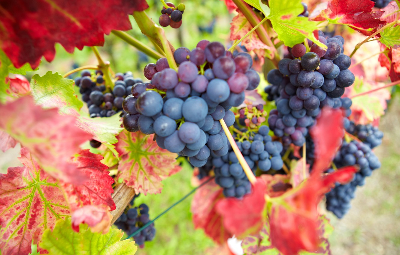 Photo wallpaper autumn, leaves, nature, berries, harvest, grapes, red, bunches, Burgundy