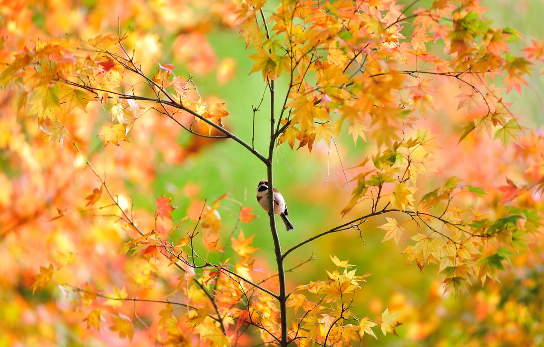 Photo wallpaper autumn, tree, foliage, Sparrow, maple, bird, Japanese