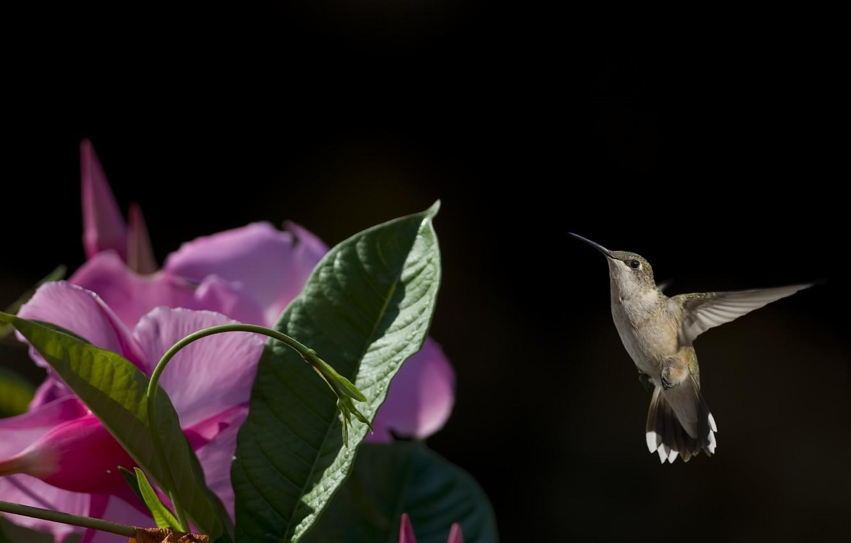 Photo wallpaper flower, flight, bird, Hummingbird, baby