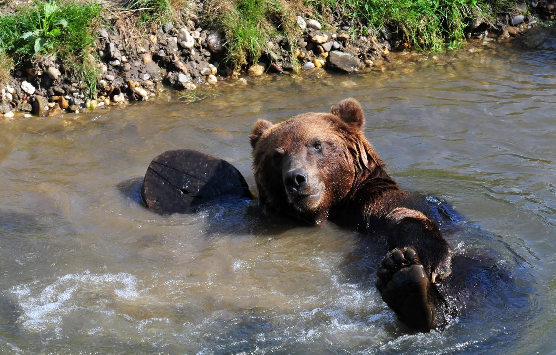 Photo wallpaper wet, paw, bear, bathing, bear, pond