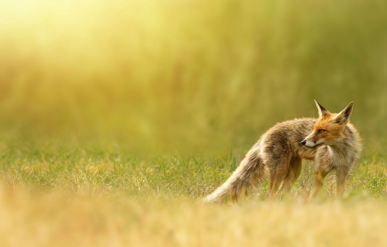 Photo wallpaper nature, Fox, red, weed, Fox