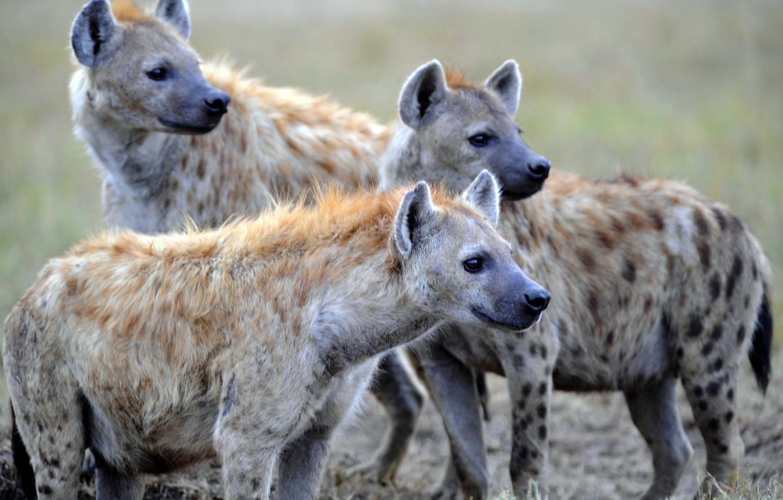 Photo wallpaper nature, predators, hyenas