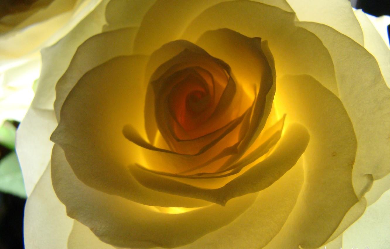 Photo wallpaper flower, rose, backlight, Akela White