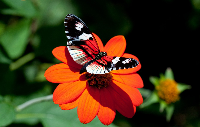 Photo wallpaper flower, butterfly, Astra