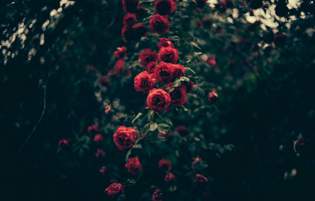 Photo wallpaper flowers, roses, petals, red