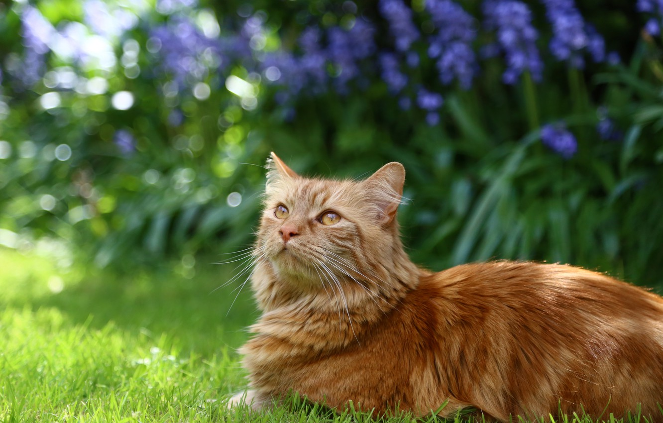 Photo wallpaper cat, grass, cat, flowers, fluffy, garden, red