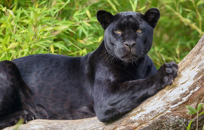 Photo wallpaper look, predator, Jaguar, wild cat, black Panther