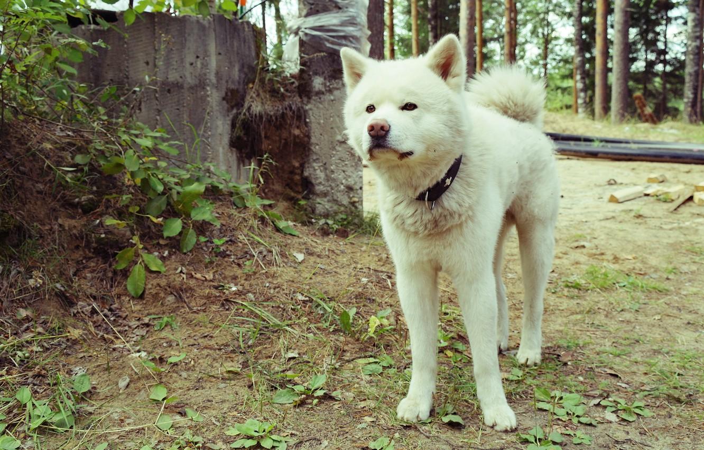 Photo wallpaper dogs, white, nature, Akita inu
