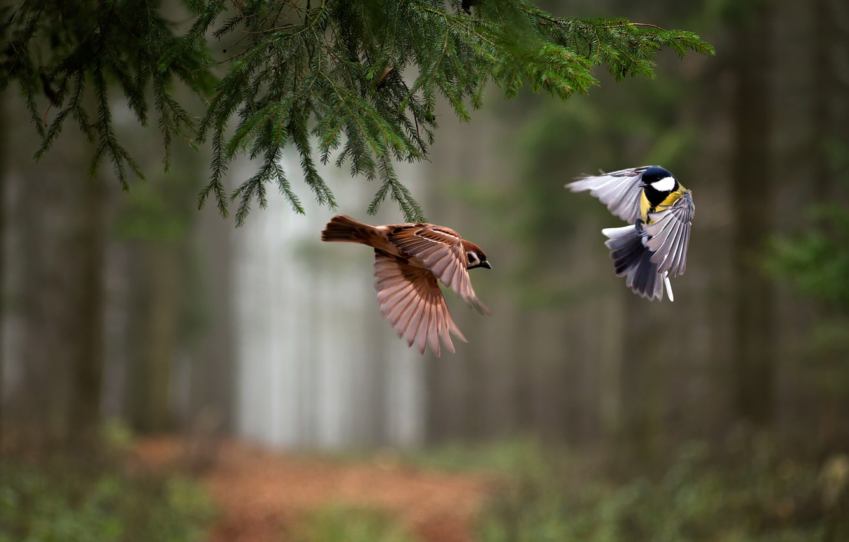 Photo wallpaper forest, birds, spruce, branch, flight