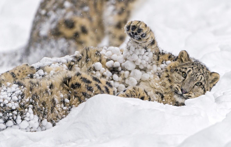 Photo wallpaper winter, face, snow, the game, paw, predator, spot, lies, fur, IRBIS, snow leopard, cub, wild …