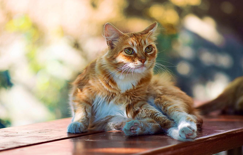 Photo wallpaper cat, summer, shadow, blur, lies, shop, red, Sunny