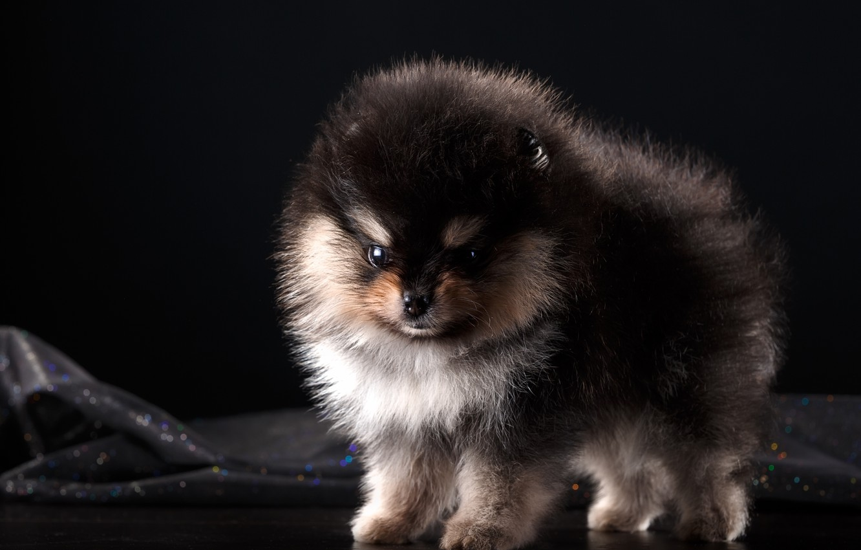Photo wallpaper fluffy, puppy, Spitz, baby