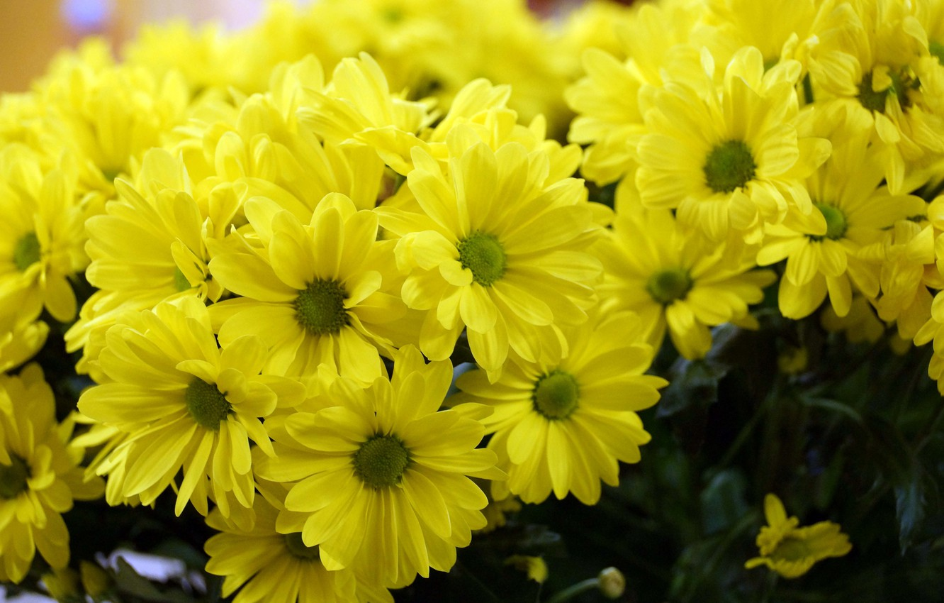 Photo wallpaper flowers, bouquets, Daisy yellow