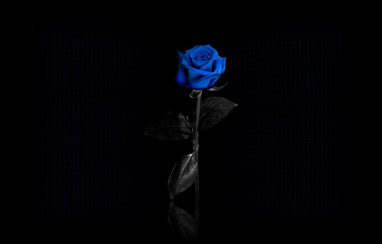 Photo wallpaper mesh, Black background, blue rose
