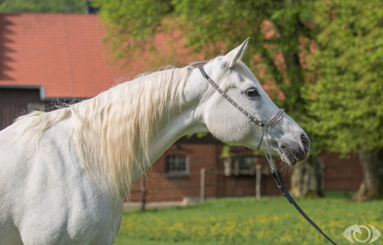 Photo wallpaper white, horse, horse, mane, (с) Oliver Seitz