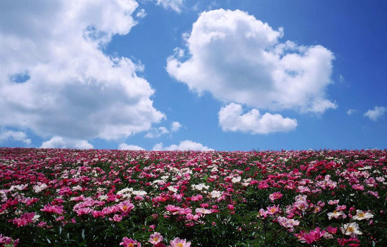 Photo wallpaper field, clouds, flowers, horizon, peonies