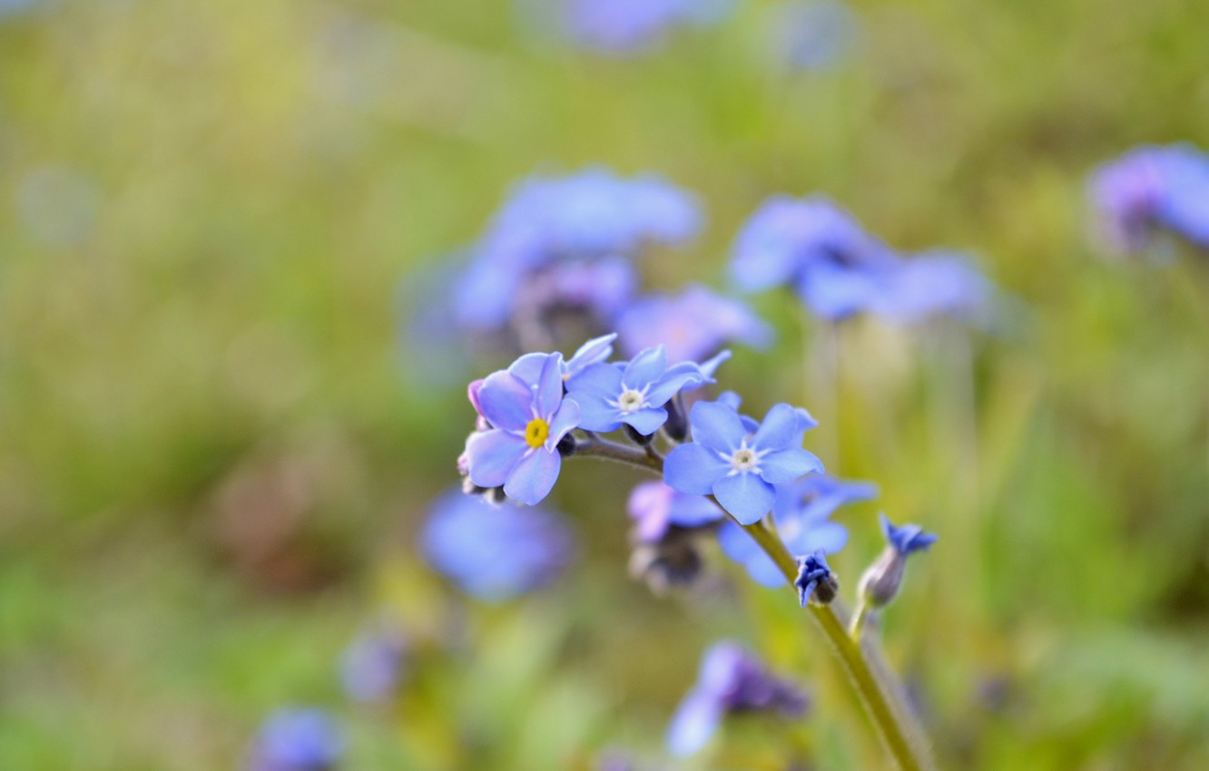 Photo wallpaper sprig, petals, forget-me-not, wildflowers
