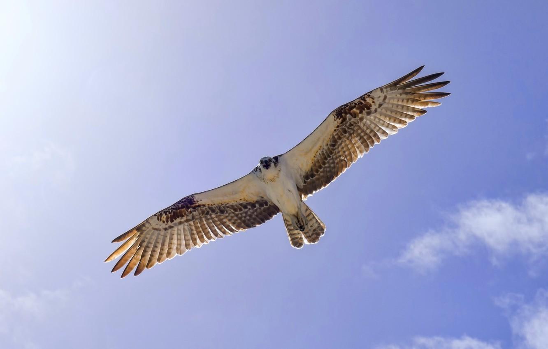 Photo wallpaper the sky, flight, bird, wings