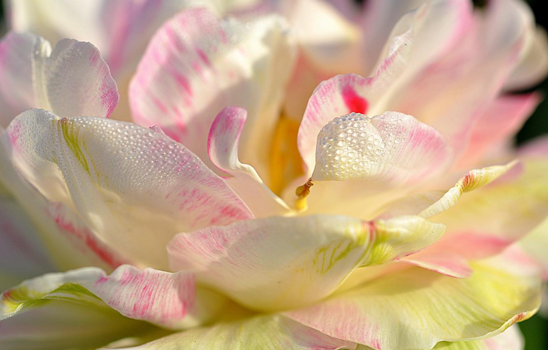 Photo wallpaper water, drops, nature, Rosa, petals, Magnolia